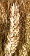Durum wheat OPERA